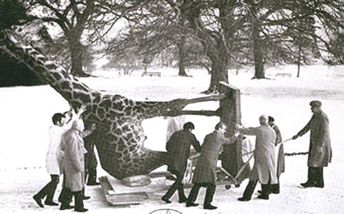 peigneurs de girafe