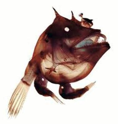 lanternfish2