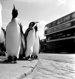 Edinburgh, 1950. The director of the zoo took the penguins for a walk through the city every week to attract people to the zoo. Photo ~ Werner Bischof