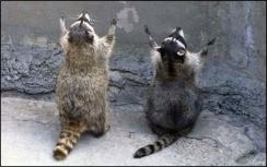 racoons-praying